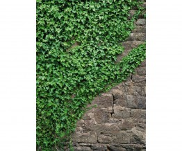 Ivy Vines 4-324 Wall Mural